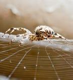 pająk Obrazy Royalty Free