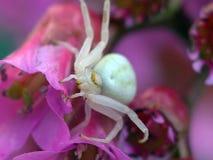 pająk kwiatów Obrazy Royalty Free