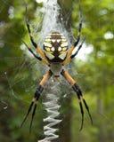 pająk ogrodu Zdjęcia Royalty Free