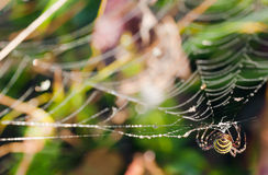 pająk osa Fotografia Royalty Free