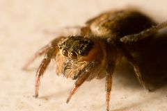 pająk skokowy Obraz Royalty Free