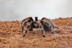 Pająk tarantula zdjęcie royalty free