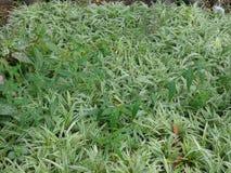 Pająk trawy kwiatu pepiniera Obrazy Stock