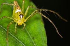 pająk zielone Fotografia Stock