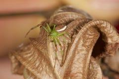 pająk zielone Obraz Royalty Free