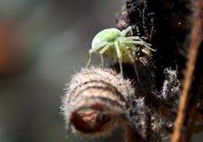 pająk zielone Obrazy Stock
