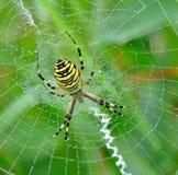 pająka jej spiderweb Obraz Stock