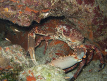 Pająka krab Obraz Stock