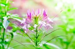 Pająka kwiat Zdjęcia Royalty Free