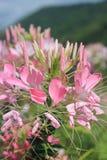 Pająka kwiat Obrazy Stock