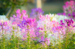 Pająka kwiat (Cleome spinosa) Zdjęcie Stock
