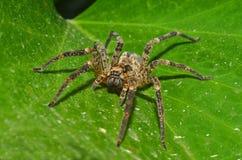 pająka wilk Fotografia Stock