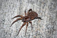pająka wilka potomstwa Obrazy Royalty Free