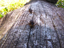 Pająki w drewnie Zdjęcie Royalty Free