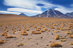 Paja brava in Atacama desert, Chile Stock Photo