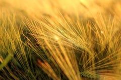 Paja de la cebada del oro en puesta del sol Fotos de archivo libres de regalías