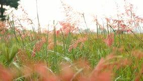 Paja de la hierba en una mañana hermosa almacen de video