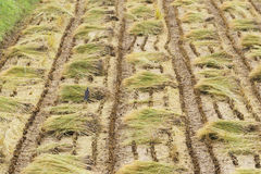 Paja de la planta de arroz en un campo Fotos de archivo libres de regalías