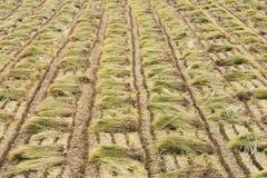 Paja de la planta de arroz en un campo Imágenes de archivo libres de regalías