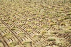 Paja de la planta de arroz en un campo Fotos de archivo