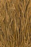 paja del arroz Imagenes de archivo