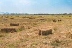 Paja del arroz en el campo con el fondo del cielo azul Imágenes de archivo libres de regalías