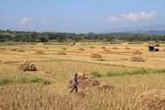 Paja del arroz en Tailandia Imagenes de archivo