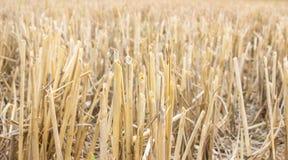 Paja en el campo en el tiempo de cosecha Fotografía de archivo