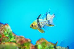 Pajama Cardinal Fish Royalty Free Stock Image