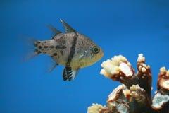 Pajama cardinalfish Stock Photography