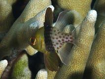 Free Pajama Cardinalfish Royalty Free Stock Photography - 158371137