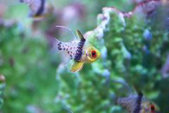 Pajama cardinalfish. The Pajama Cardinalfish is a rainbow of playful colors. It has a greenish-yellow face, bright orange eyes, and a silver-based body dressed stock photography