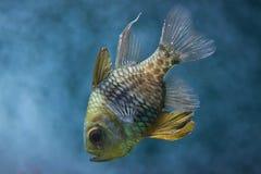 Pajama cardinalfish Sphaeramia nematoptera Royalty Free Stock Image