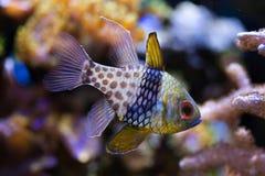 Pajama cardinalfish (Sphaeramia nematoptera). Pajama cardinalfish (Sphaeramia nematoptera), also known as the spotted cardinalfish. Sea life stock photos