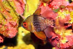 Pajama cardinalfish Stock Photos