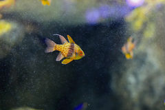 Pajama cardinalfish Stock Photos