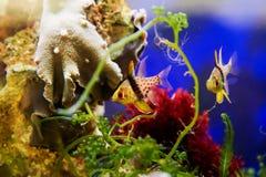 Pajama Cardinalfish Royalty Free Stock Photo