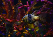 Pajama cardinalfish. Swimming in aquarium royalty free stock photo