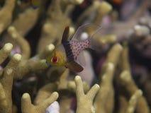 Pajamacardinalfish 02 Royaltyfri Bild