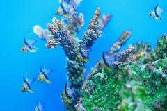 Pajamacardinalfish Royaltyfri Fotografi