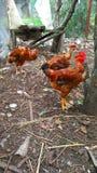 Pajarera con los pollos rojos foto de archivo