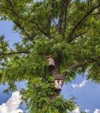 pajarera de madera en árbol de abedul Fotos de archivo libres de regalías