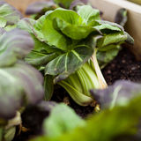 Pak choi Stock Photography