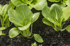 Pak Choy in organic garden Stock Photography