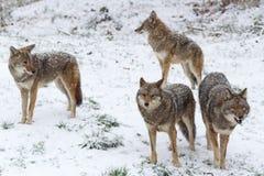 Pak coyotes in een de winterscène stock foto