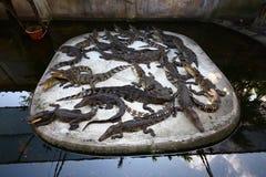 Pak Krokodillen Stock Afbeeldingen
