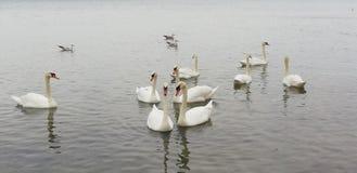 Pak mooie witte zwanen op de stille oppervlakte van het overzees Achtergrond stock afbeelding