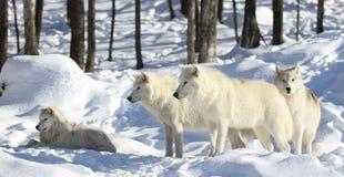 pak noordpoolwolven in sneeuw royalty-vrije stock foto's