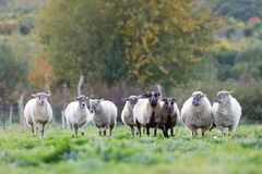 Pak schapen met op het weiland royalty-vrije stock afbeelding