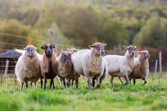 Pak schapen met op het weiland stock foto